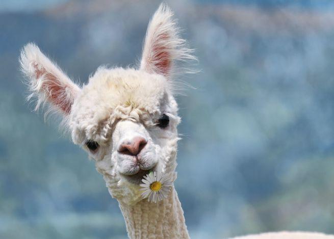 Moda etica: Valentino primo marchio di lusso a dire no alla lana di alpaca